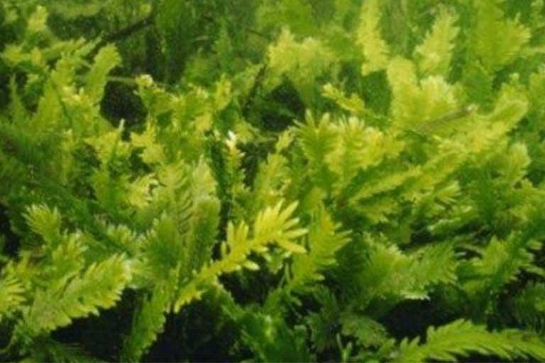 L'Alga Klamath, Caratteristiche, Indicazioni ed Effetti