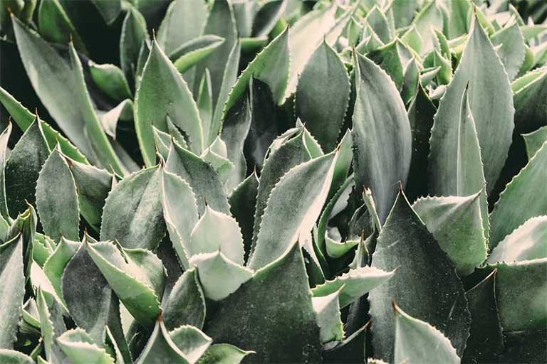 Aloe Succo